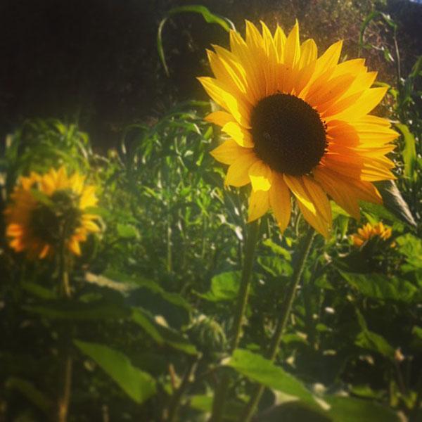 Mr and Mrs Romance - San Francisco somoma sunflowers