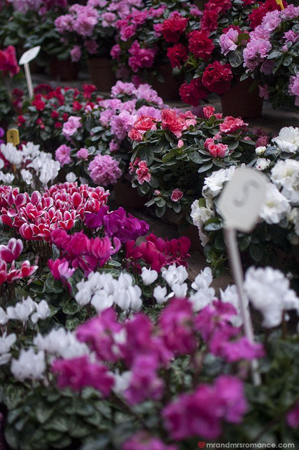 Paris flower markets - cyclamens