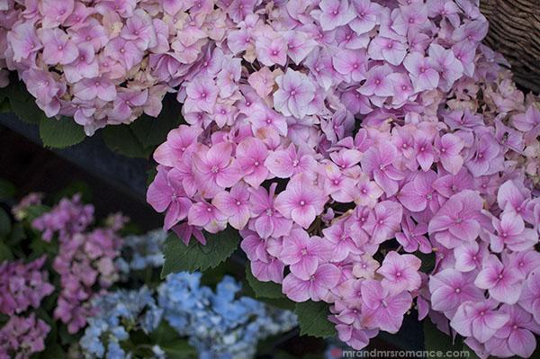 Paris flower markets - hydrangeas