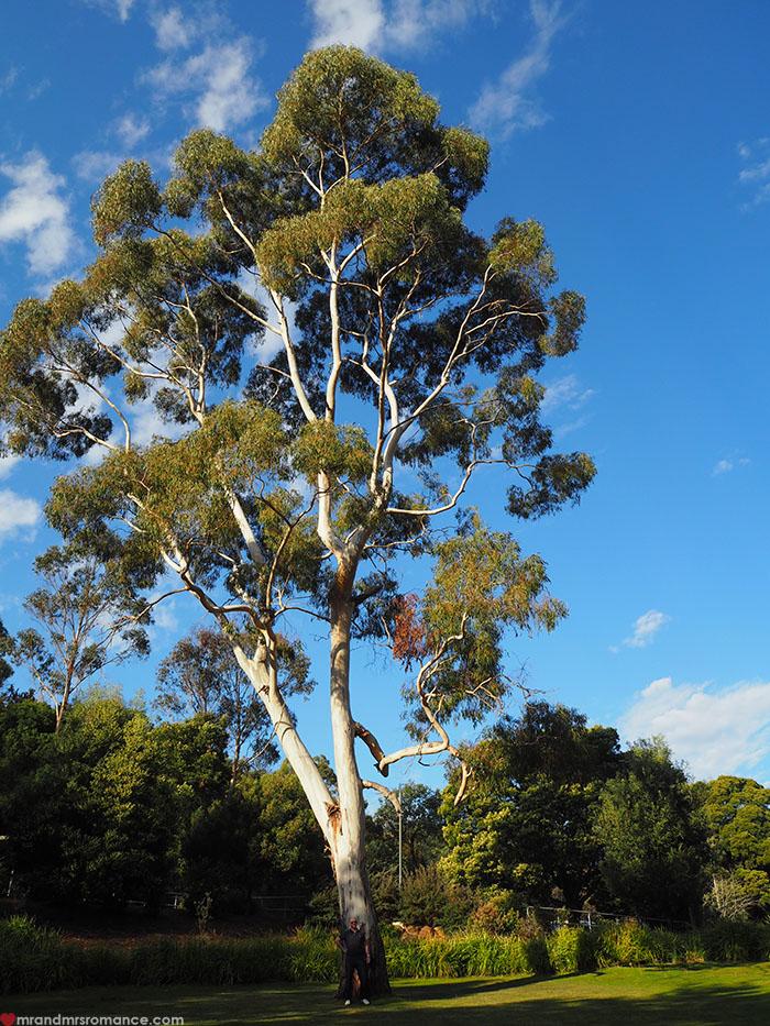 Mr & Mrs Romance - Spirit of Tasmania - big tree!