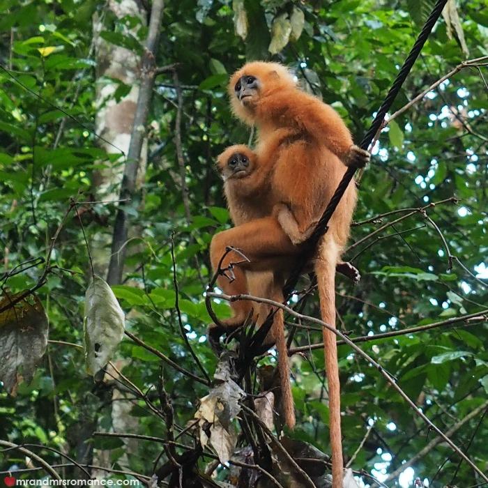 Mr & Mrs Romance - IG Edition Sabah - 13 Redleaf monkeys Danum