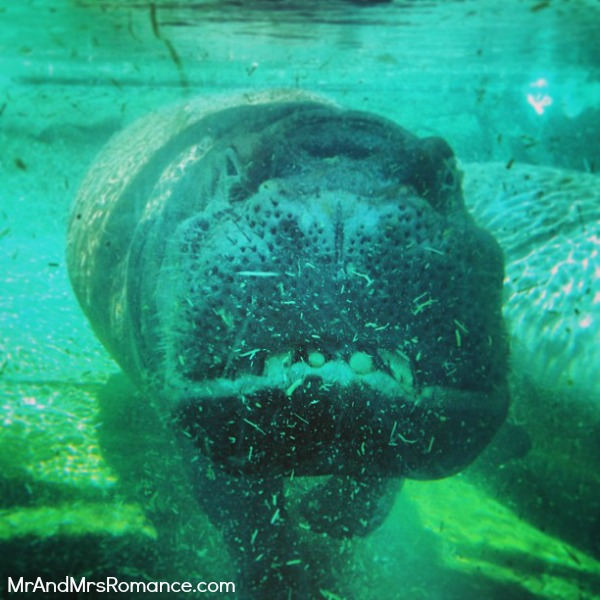 Mr and Mrs Romance - San Diego pt 2 - 13 Zoo Hippo or selfie