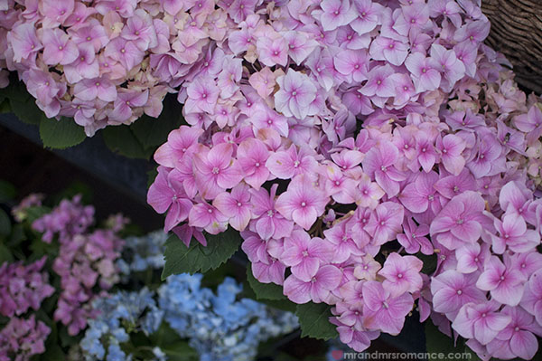 Paris flower markets - hydrangeas