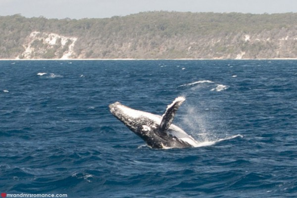 Mr and Mrs Romance - Whale watching - Hervey Bay Fraser Island 10