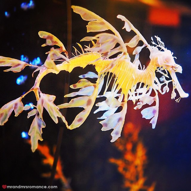 Mr & Mrs Romance - Insta Diary - 6 leafy sea dragon