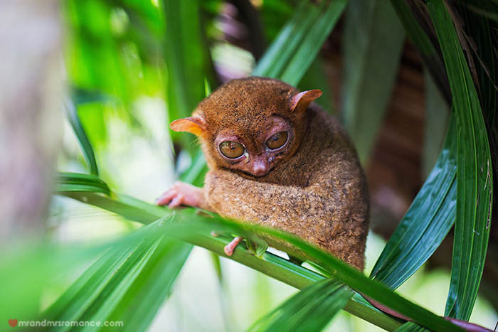 Tarsier in a tree at Bohol Tarsier sanctuary, Philippines