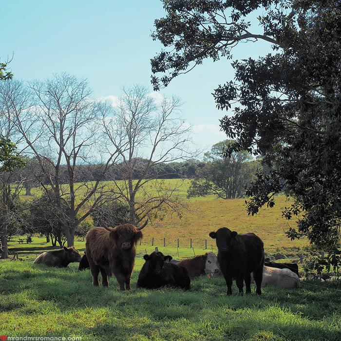 Mr & Mrs Romance - IG Edition - cows at The Farm Byron Bay