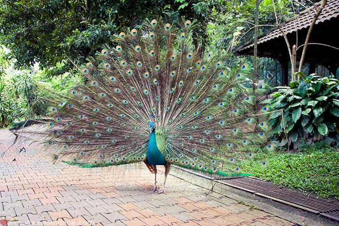 Peacock in Kuala Lumpur Bird Park, Malaysia.