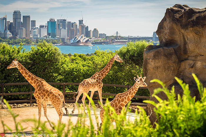 Mr and Mrs Romance - Things to do in Sydney - Taronga Zoo giraffes