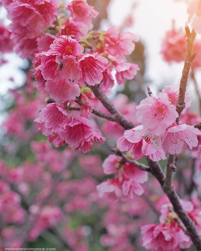 Mr and Mrs Romance - Postcards from Okinawa Japan - sakura