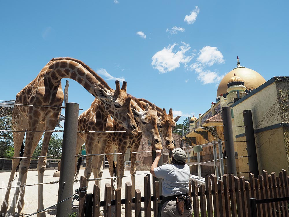 Taronga Zoo - giraffes