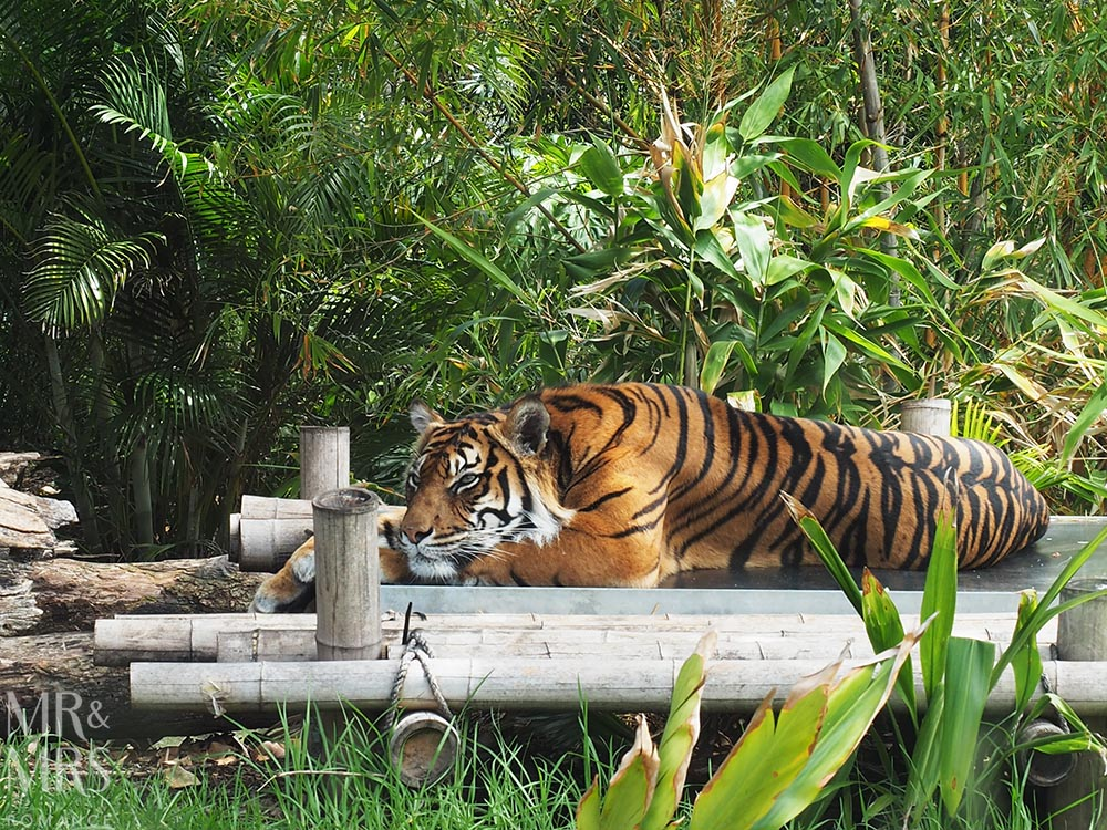 Taronga Zoo - Sumatran tiger