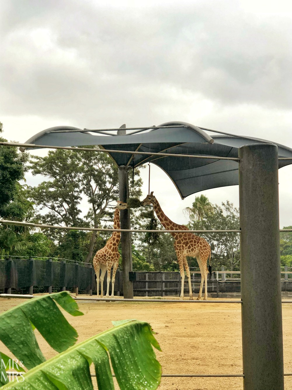 Weekly Edition - Twilight at Taronga concert - giraffes