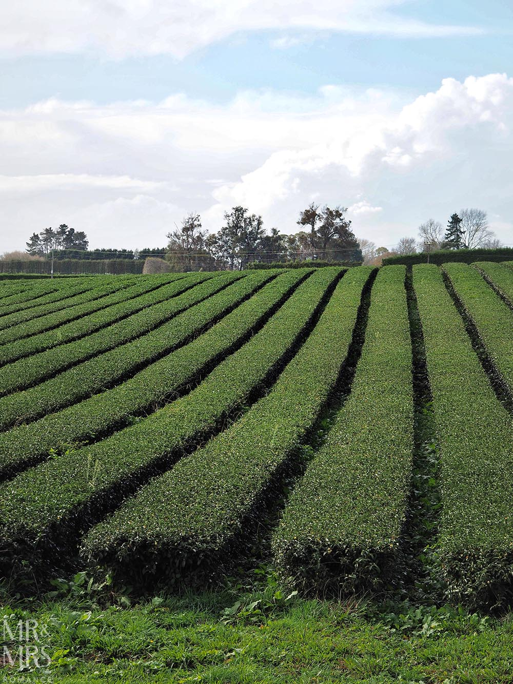 Zealong Tea Estate, Hamilton, Waikato, New Zealand - tea plantation