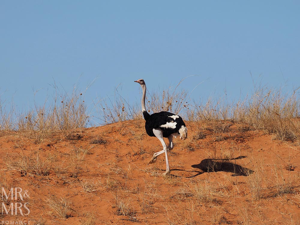 South Africa Tourism - ostrich in Kalahari Desert