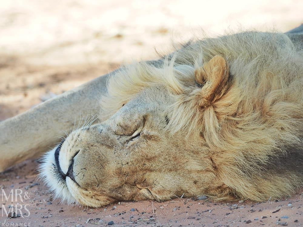 South Africa Tourism - Kalahari lions