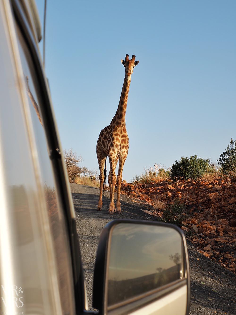 South Africa Tourism - giraffe Fugitives' Drift Game Park