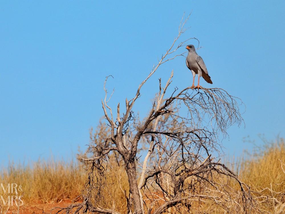 Visit South Africa - Pale Chanting Goshawk Kalahari Desert