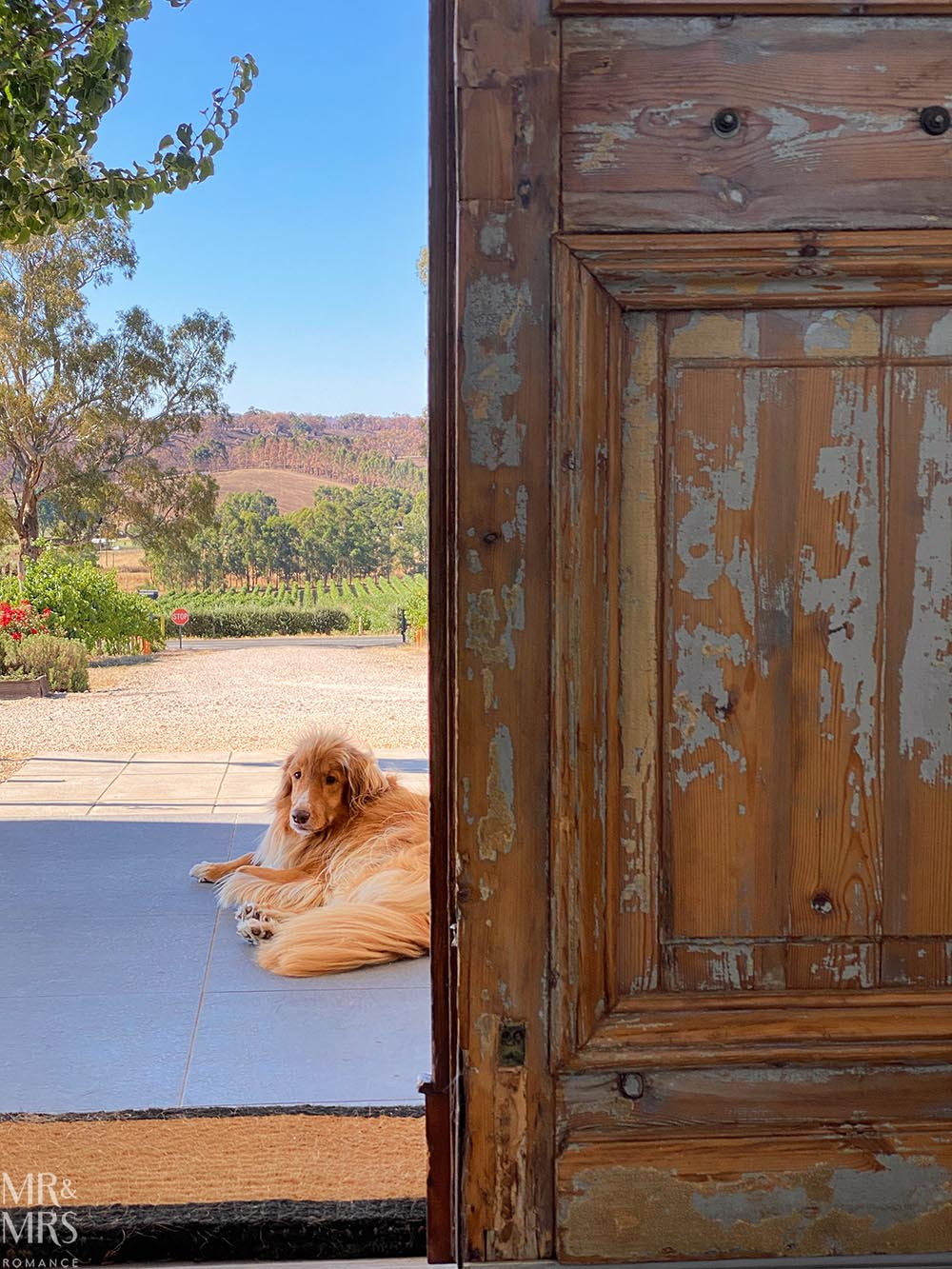 Coco the Wine Dog, Artwine Winery, Adelaide Hills, Adelaide