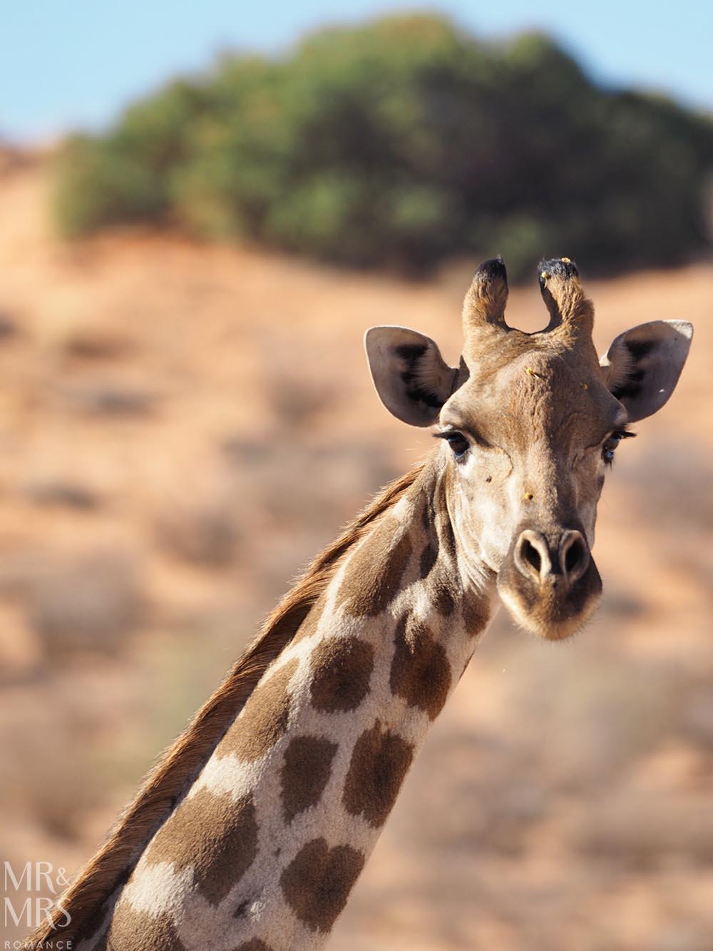 Xaus Lodge Kgalagadi Transfrontier Park, Kalahari Desert safari, South Africa - giraffe