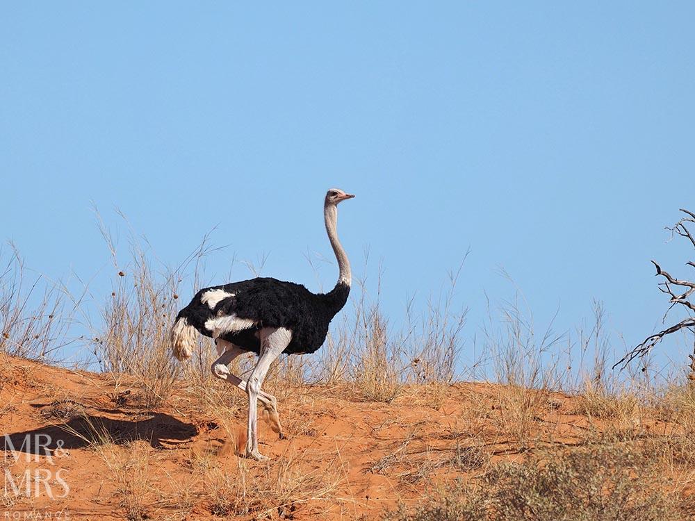 Xaus Lodge Kgalagadi Transfrontier Park, Kalahari Desert safari, South Africa - ostrich