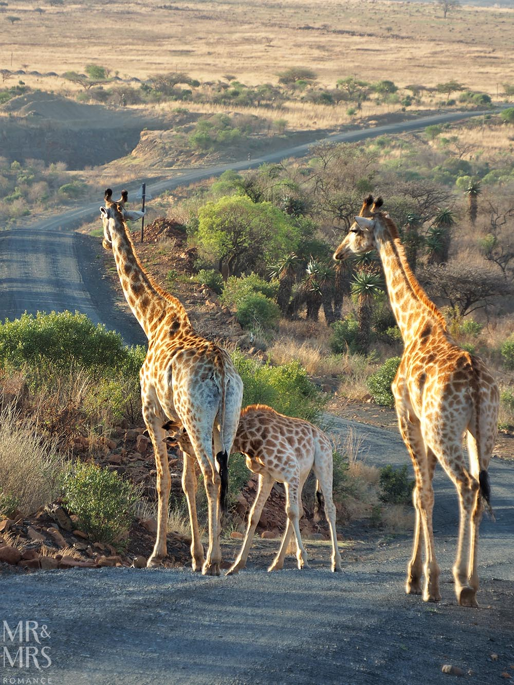 Fugitives' Drift Lodge - giraffe in the private reserve