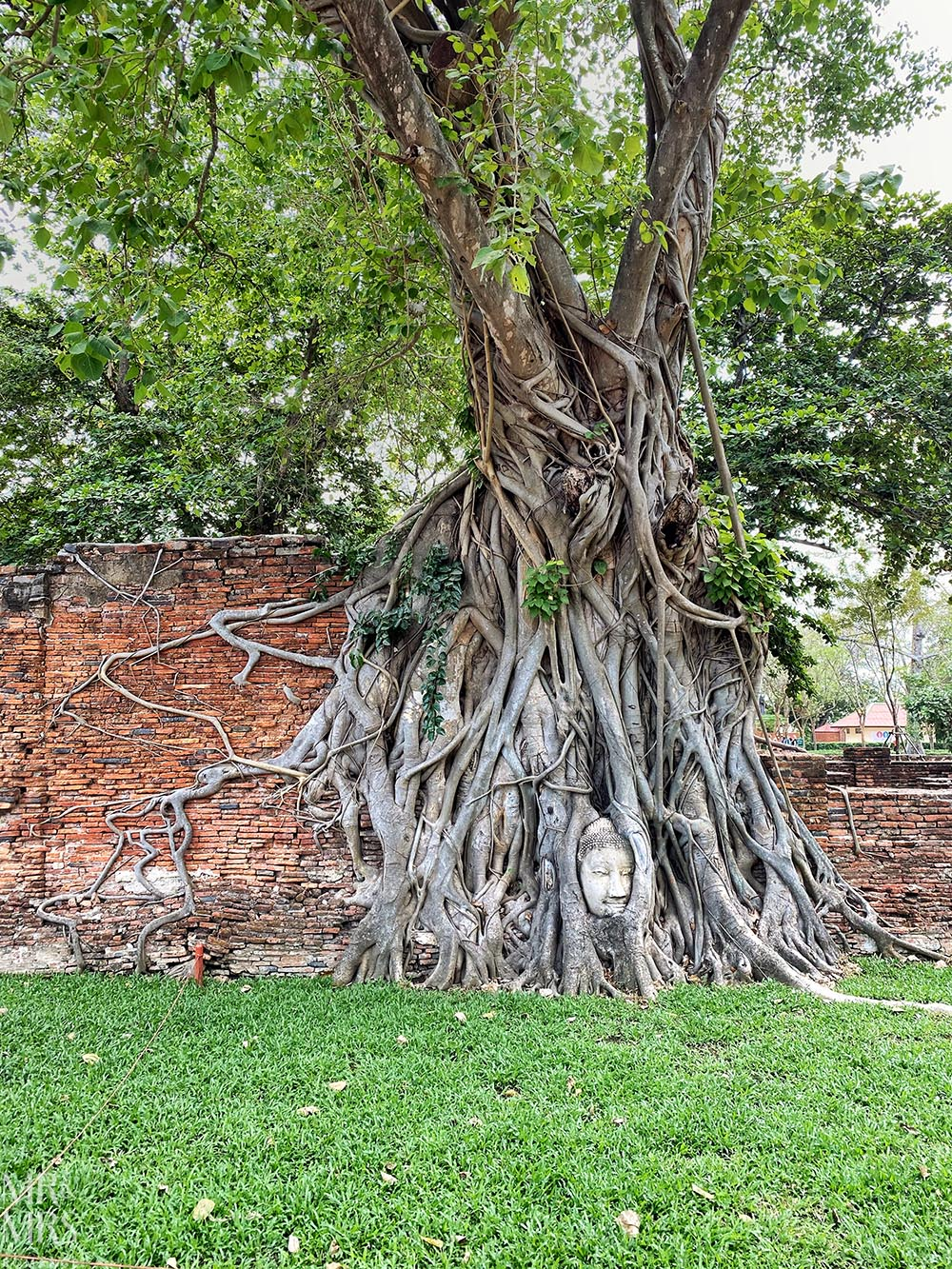 Coronavirus in Thailand - Wat Mahathat Temple - Buddha face in banyan tree
