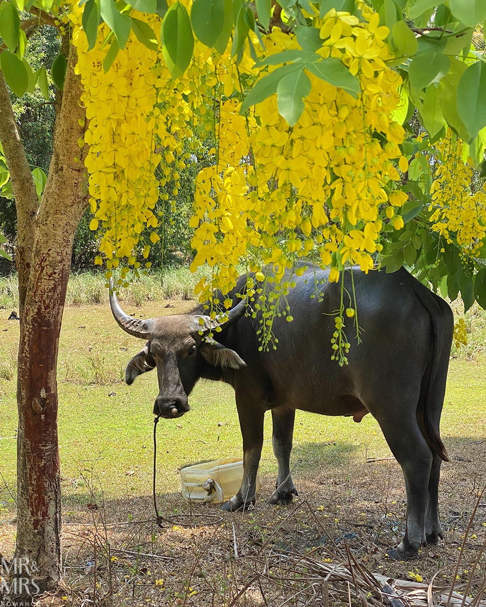 Water buffalo Ko Klang, Thailand coronavirus COVID-19