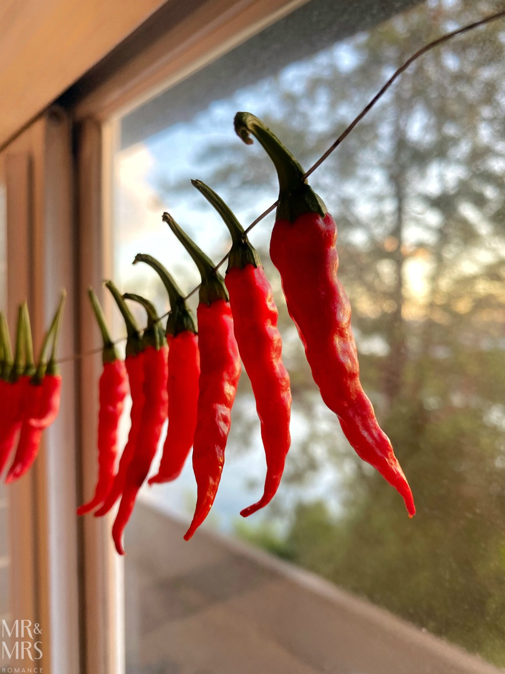 Surviving isolation - dried chillies