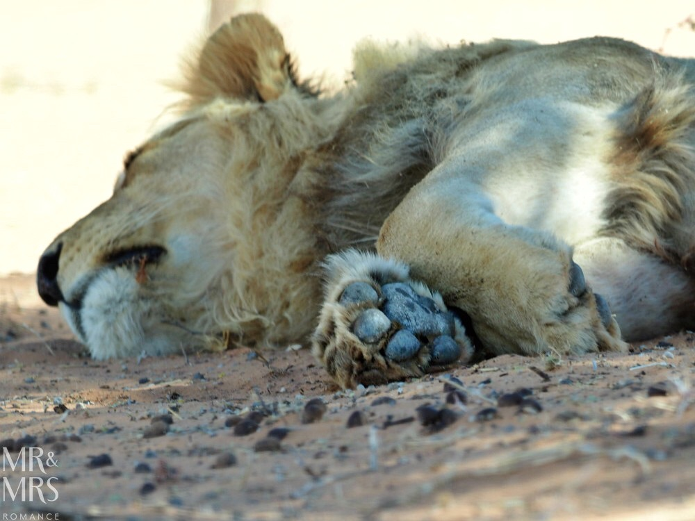 Cultural South Africa - Kalahari lion