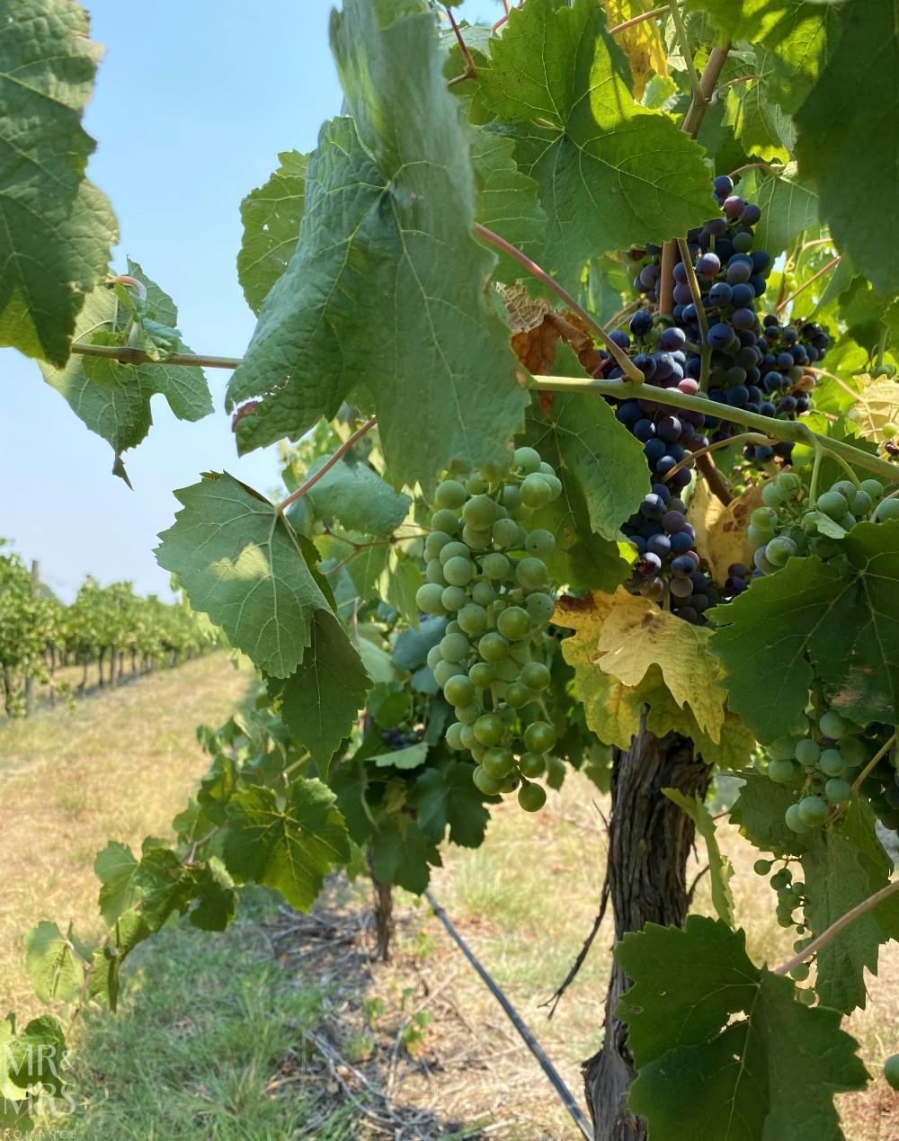 Sam Miranda winery grapes, King Valley
