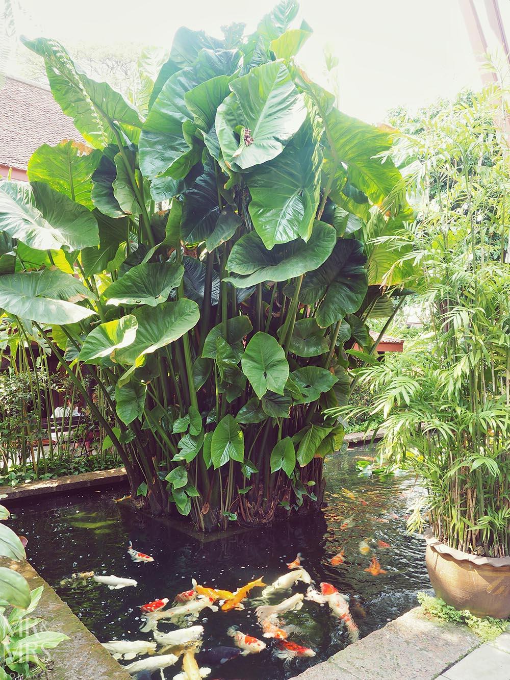 Jim Thompson House, Bangkok - coy carp fish pond