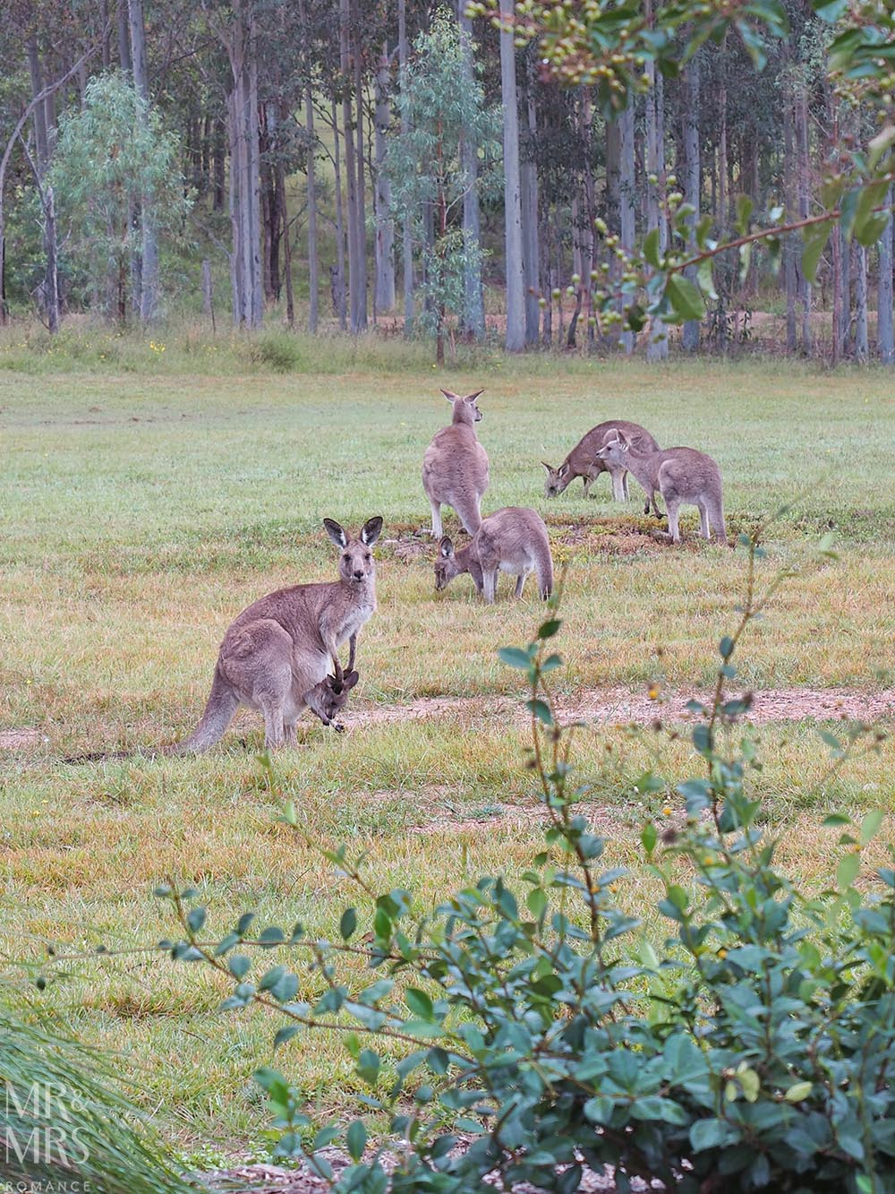 Where to stay in the Hunter Valley - Aldora Cottage in Jindalee Estate, Pokolbin hotel review kangaroos