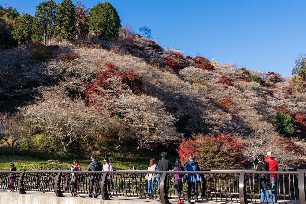 Sakura cherry blossom autumn Aichi Prefecture